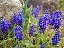 대구수목원 - 선인장온실 화단에 꽃을 조미료처럼 각종 요리에 뿌려서 먹을수있는 관상용식물 보라색 무스카리,꽃,효능.