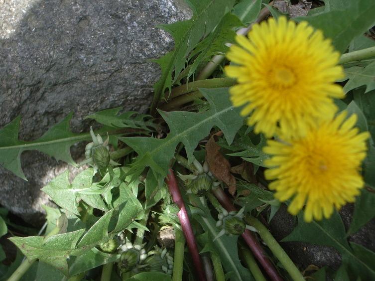토종 민들레 ,서양민들레