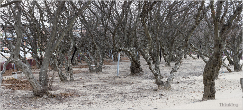 설중 복수초와 눈맞춤하고 바로 달려간 십리포 해수욕장 소사나무 군락지 파노라마