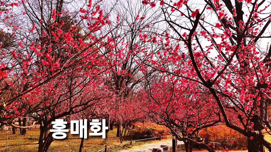 [Daegu Jung-gu Spring Flower News] Daegu Jung-gu Gukchae Compensation Movement Memorial Park Spring Herald The various plum trees, flowers, potency, and legend.